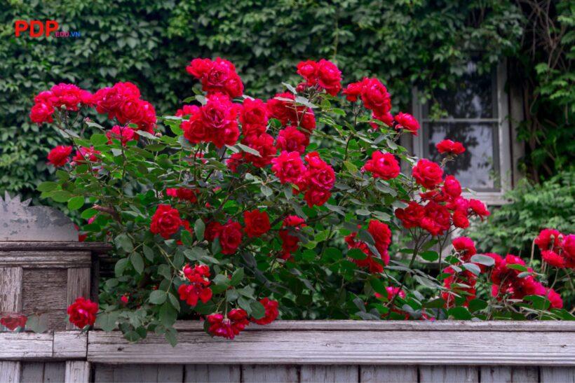 Hình ảnh ý nghĩa hoa hồng leo