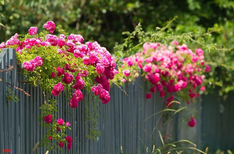 hình ảnh ý nghĩa hoa hồng leo đẹp