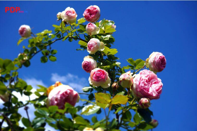 Hình ảnh ý nghĩa hoa hồng trứng