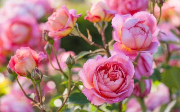 hình ảnh ý nghĩa hoa hồng trứng đẹp