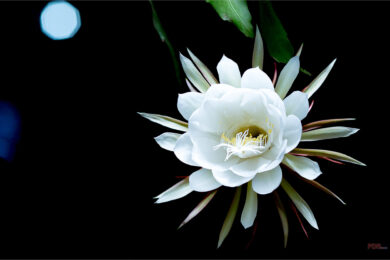 Hình ảnh, ý nghĩa hoa quỳnh