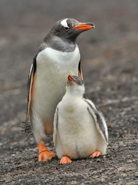 hình cánh cụt cute tình mẫu tử
