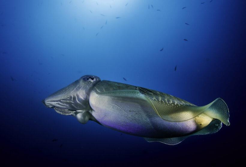 hình nền cá mực khổng lồ trong đại dương