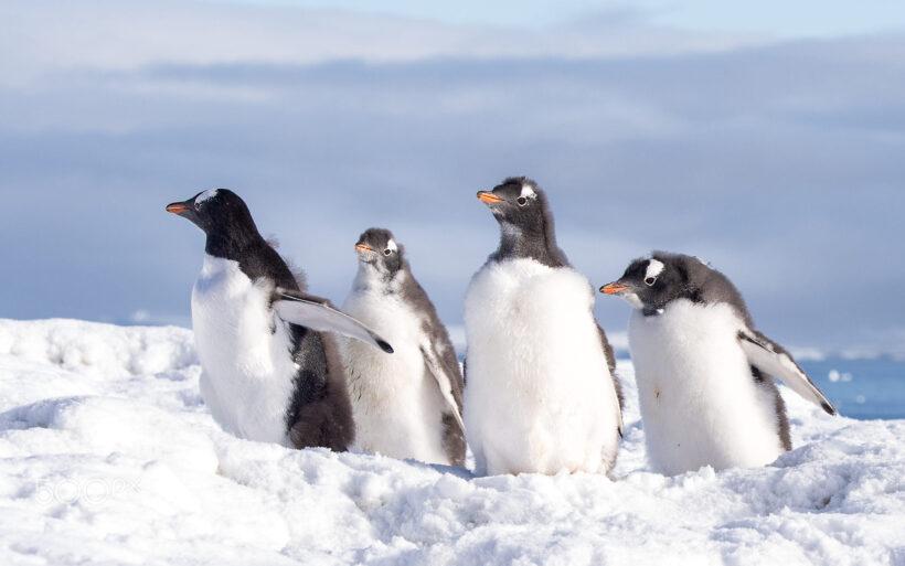 hình nền chim cánh cụt đang đi dưới tuyết trắng
