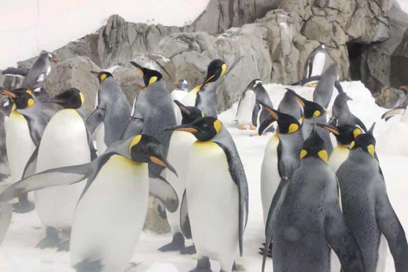 hình nền chim cánh cụt hoàng đế to nhất