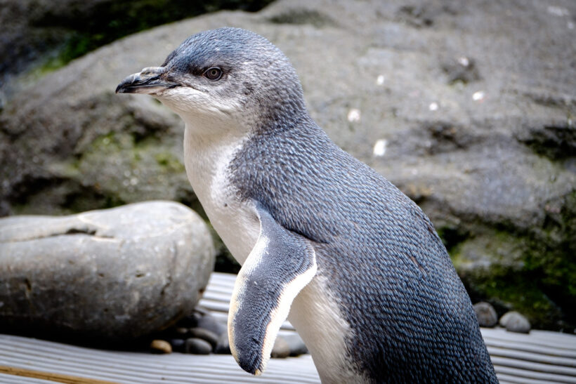 hình nền chim cánh cụt tiên nhỏ bé đáng yêu
