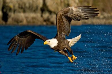 hình nền chim đại bàng