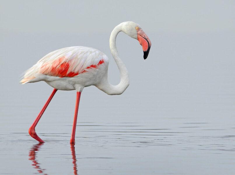 hình nền chim hồng hạc dễ thương nhất
