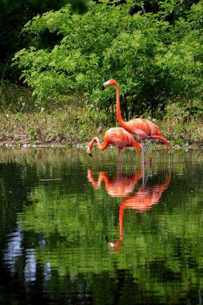hình nền chim hồng hạc đẹp cho điện thoại