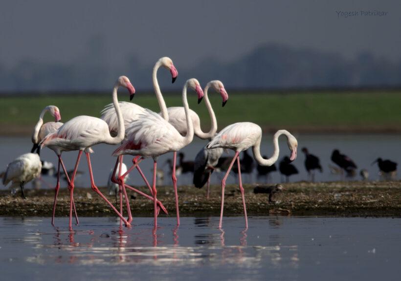 hình nền chim hồng hạc theo đàn