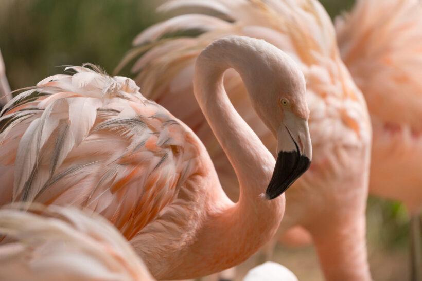 hình nền chim hồng hạc với bộ lông hồng nhạt đẹp nhất