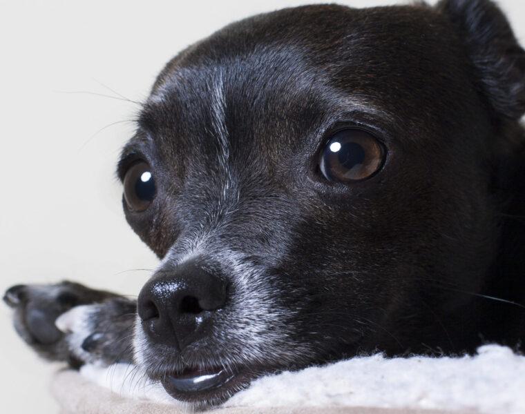 hình nền chó chihuahua màu đen huyền bí đang nằm
