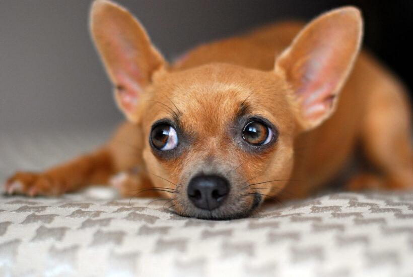 hình nền chó chihuahua màu nâu