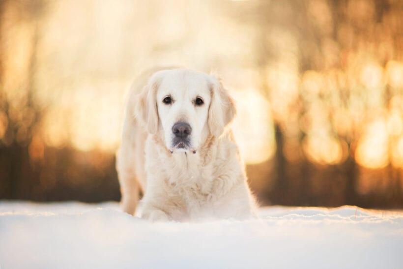 hình nền chó Golden trắng với tuyết trắng xóa