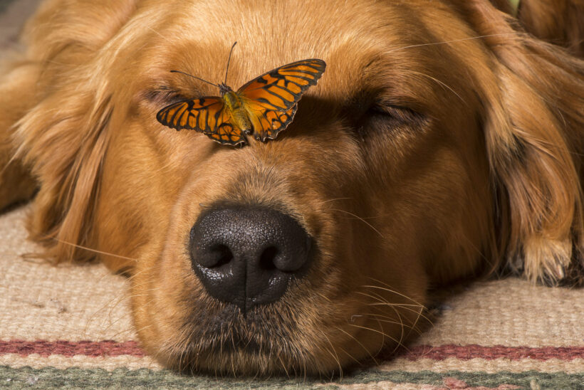 hình nền chó Golden và con bướm