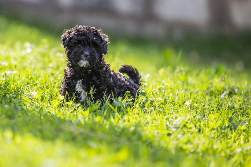 hình nền chú chó màu đen dễ thương cho desktop