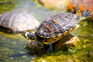 hình nền con rùa đẹp chuẩn bị xuống nước