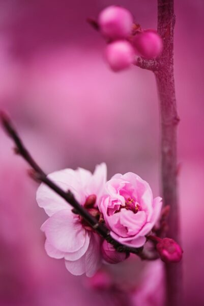 hình nền hoa đào màu hồng