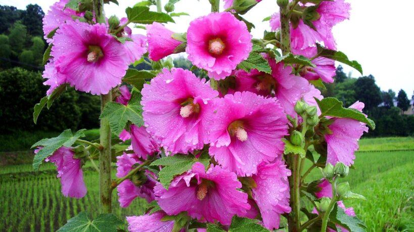 hình nền hoa mãn đình hồng cho desktop