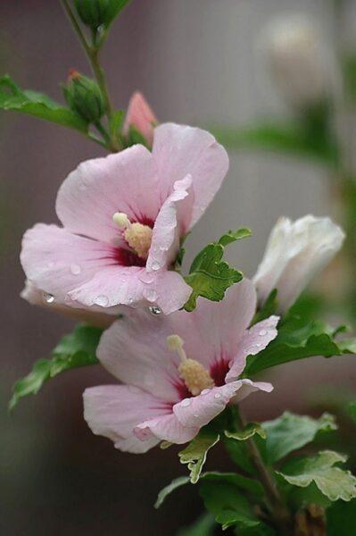 hình nền hoa mãn đình hồng cho iphone