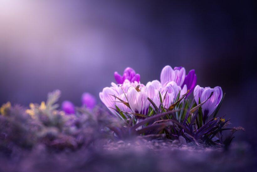 Hình nền hoa nghệ tây cho zalo đẹp