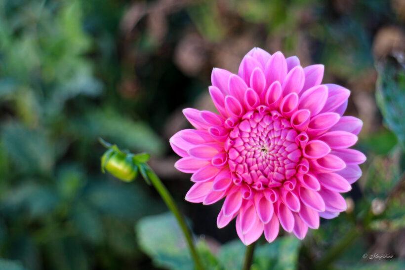 hình nền hoa thược dược màu hồng