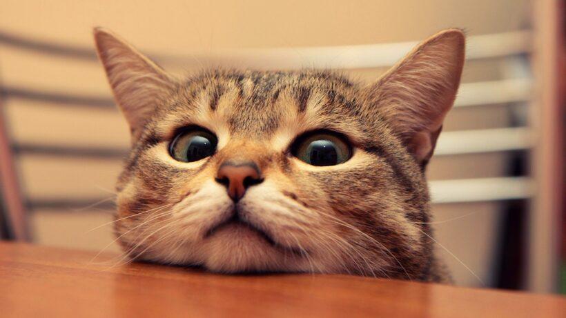 Hình nền máy tính dễ thương hình con mèo