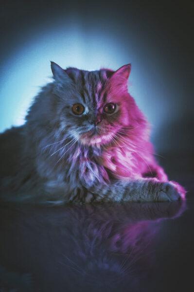 hình nền mèo Ba Tư dành cho điện thoại samsung
