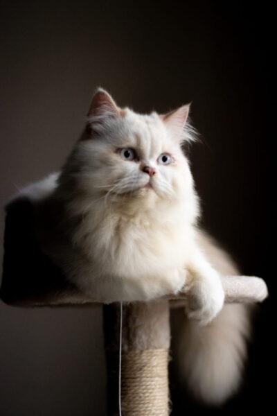hình nền mèo Ba Tư dễ thương dành cho điện thoại