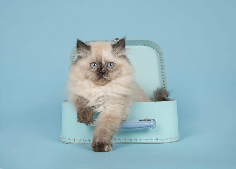 hình nền mèo Ba Tư đẹp nhất dành cho desktop