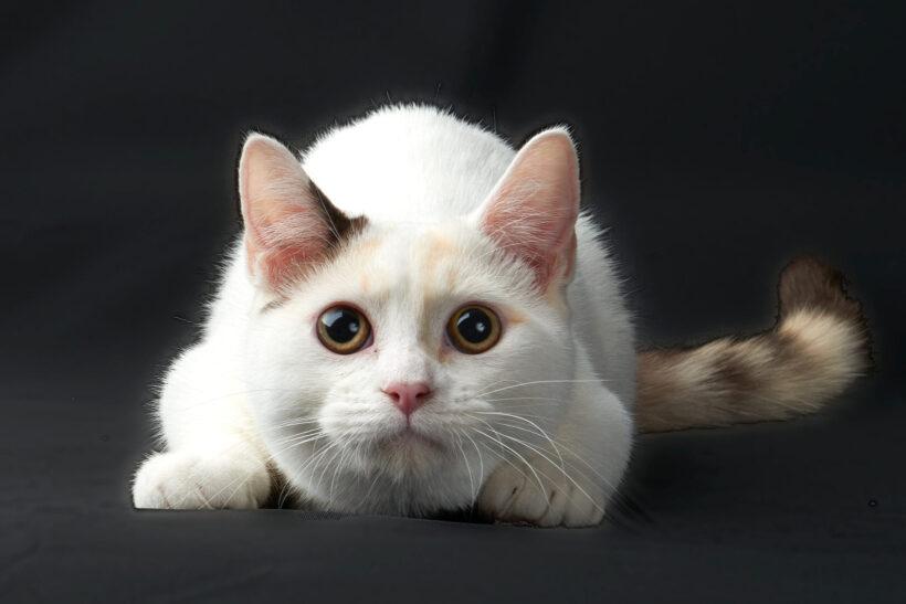 hình nền mèo Munchkin đang chuẩn bị nhảy