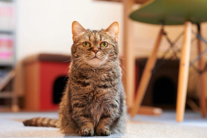 hình nền mèo Munchkin dễ thương cho desktop