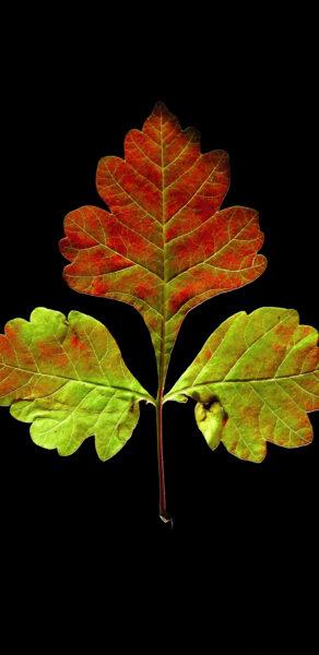 Hình nền samsung hình chiếc lá