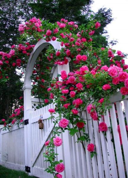 Hoa hồng leo màu hồng thắm
