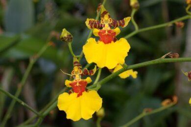 hoa lan vũ nữ đẹp đành cho người yêu hoa