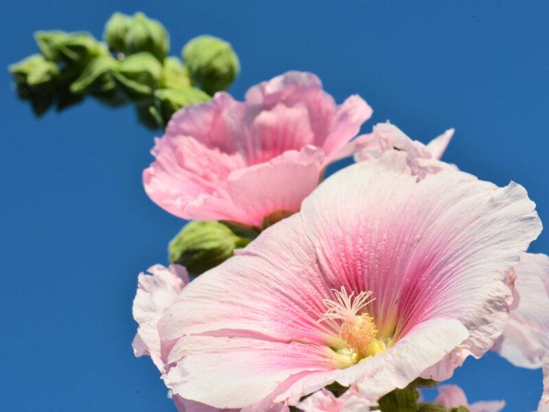 Hoa mãn đình hồng màu hồng nhạt