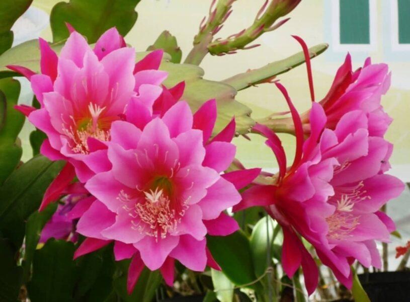 Hoa quỳnh đỏ đẹp