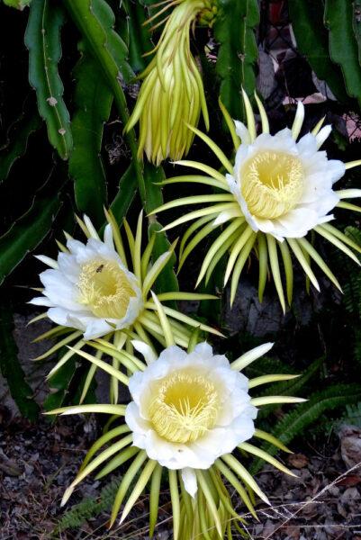 Hoa thanh long đẹp ý nghĩa
