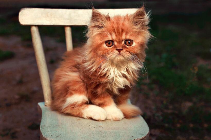 mèo Ba Tư lai ta siêu đáng yêu