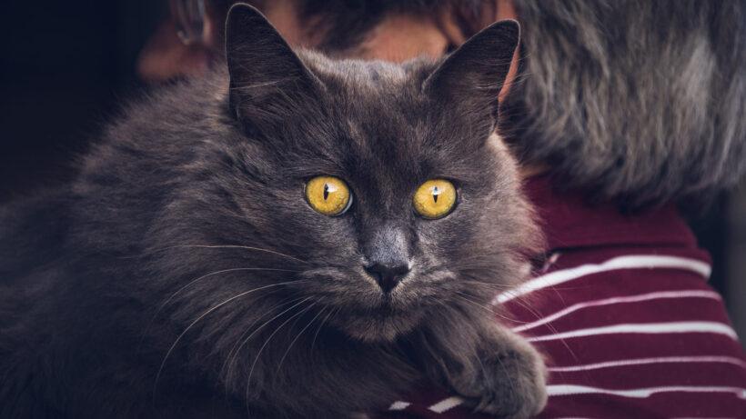 mèo Ba Tư lông đen đẹp nhất