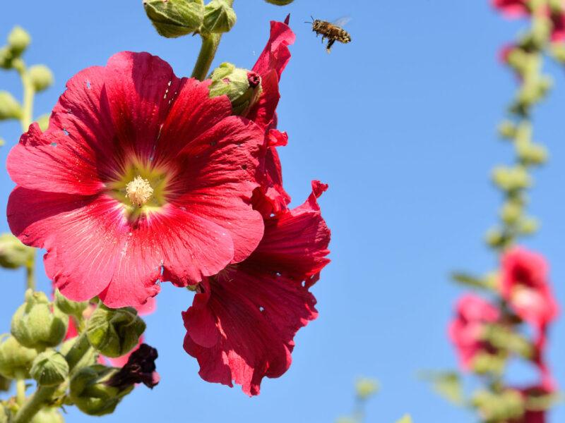 Thời gian trồng hoa mãn đình hồng