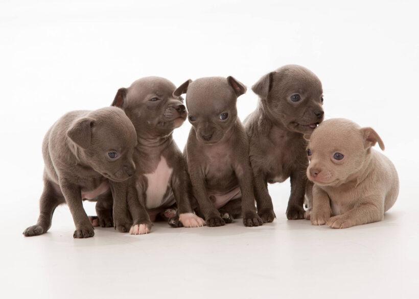 trại chó chihuahua với màu lông nâu đen