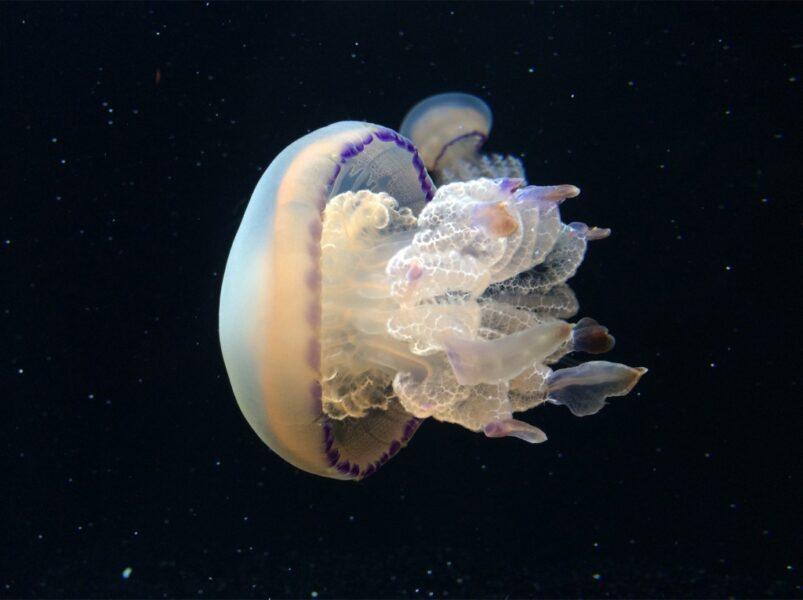 Ảnh con sứa đẹp sinh động cận cảnh