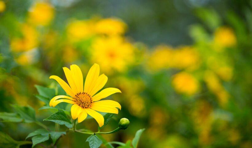 Ảnh hoa dã quỳ làm quotes cực đẹp