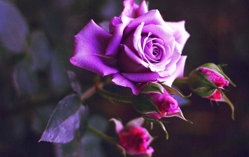 Ảnh hoa hồng tím đẹp nhất