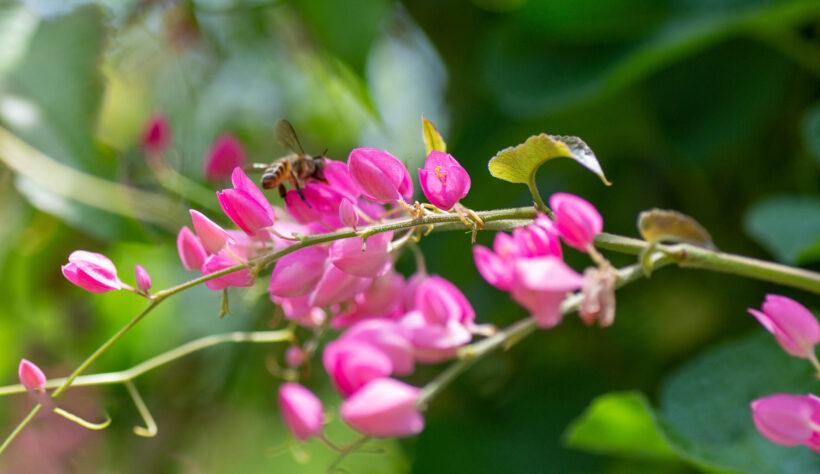 ảnh hoa tigon đẹp và chú ong