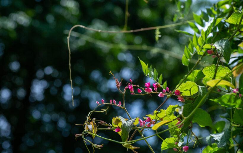 ảnh những hoa tigon đẹp