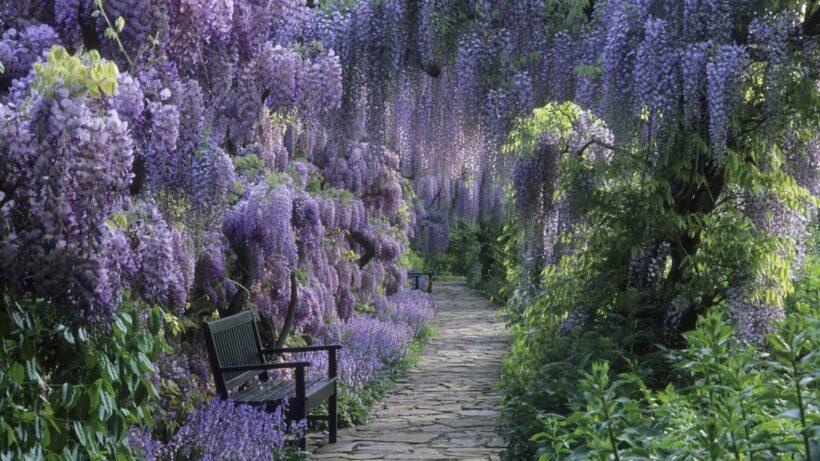 Con đường hoa tử đằng tuyệt đẹp