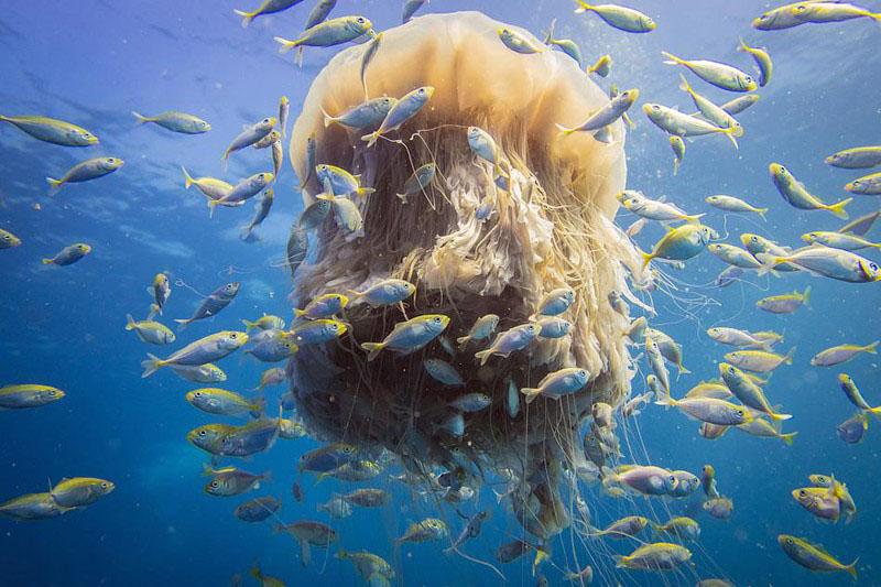 Hình ảnh anime con sứa khổng lồ đẹp