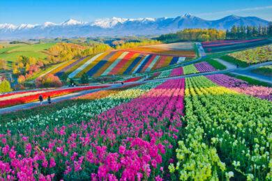hình ảnh cánh đồng hoa đẹp